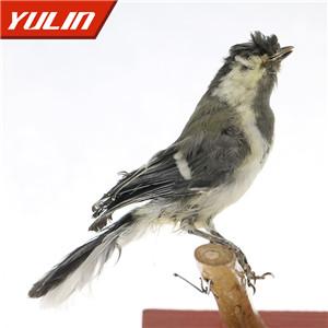 黄颊山雀标本