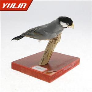 白腰文鸟标本
