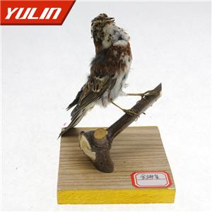 金翅雀标本