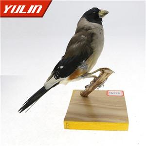 黑尾蜡嘴雀标本