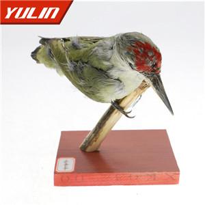 绿啄木鸟标本