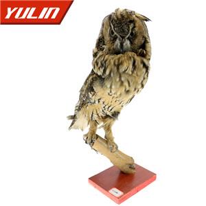 长耳鸮标本