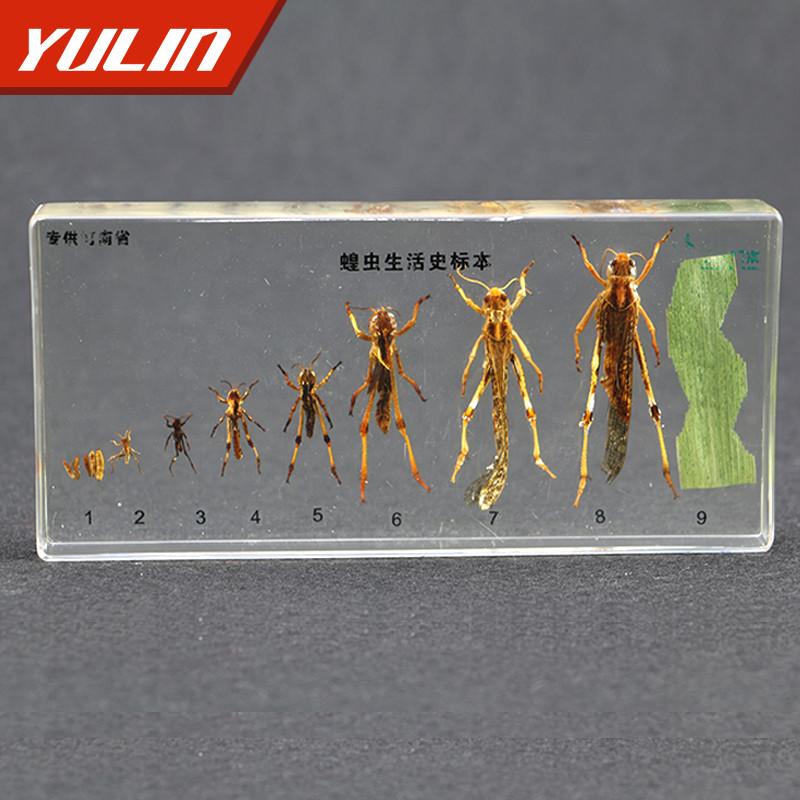 蝗虫生活史包埋标本