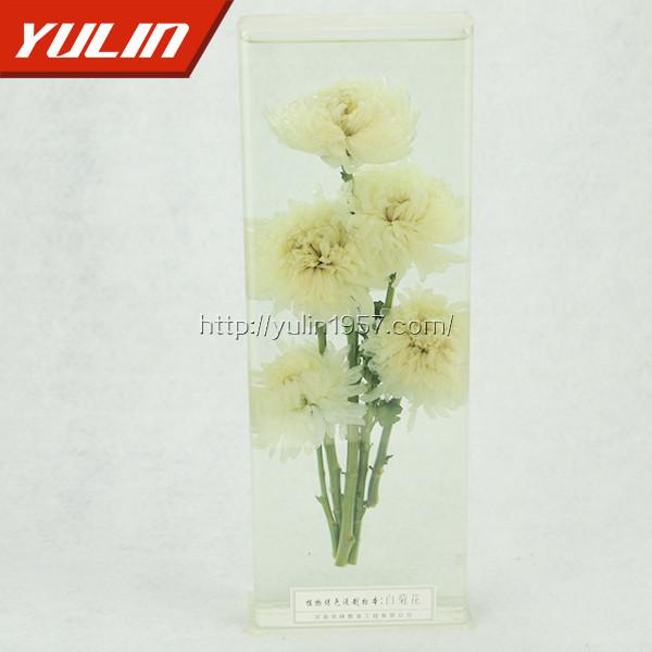 白菊花标本