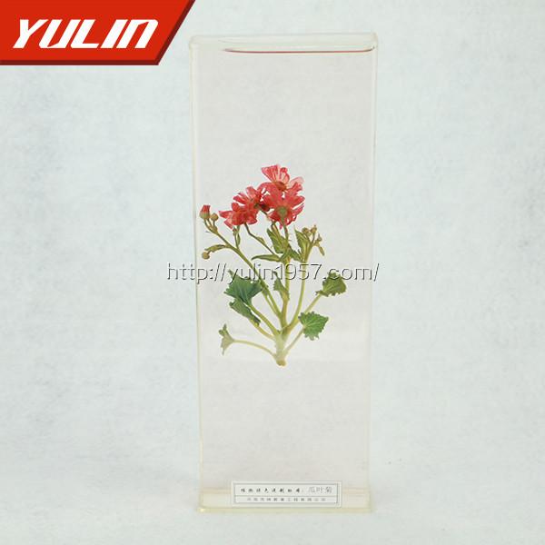 瓜叶菊标本