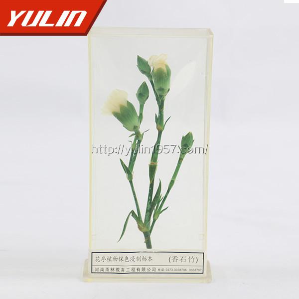 香石竹标本