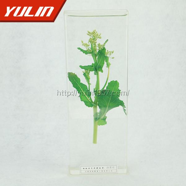 油菜花标本