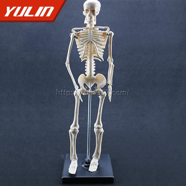 儿童骨骼模型