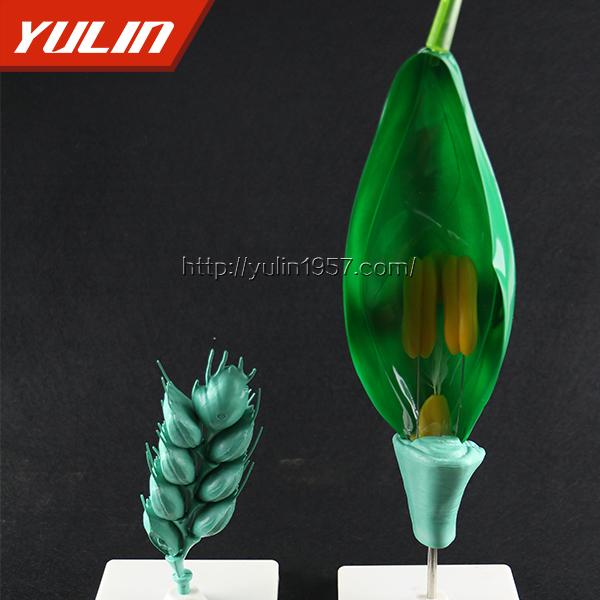 小麦花模型