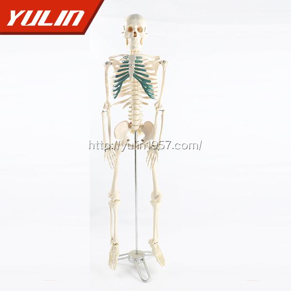 人体骨骼模型