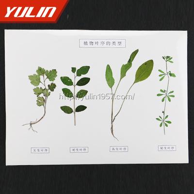 植物叶序类型标本