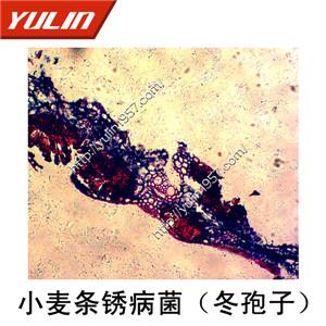 真菌接合菌子囊菌植物病理