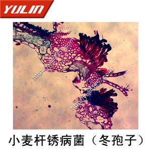 担子菌半知菌植物病理玻片