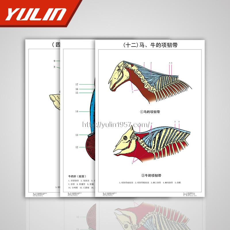 畜禽系统解剖学