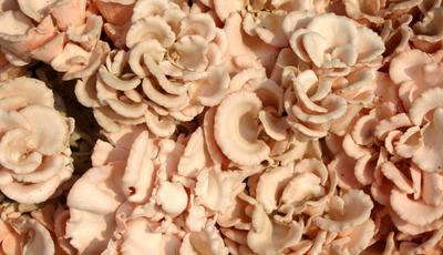 食用菌栗蘑