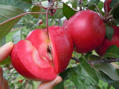 红色之爱红肉苹果