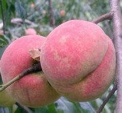 金秋红蜜雪桃