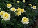 南阳盆花月季