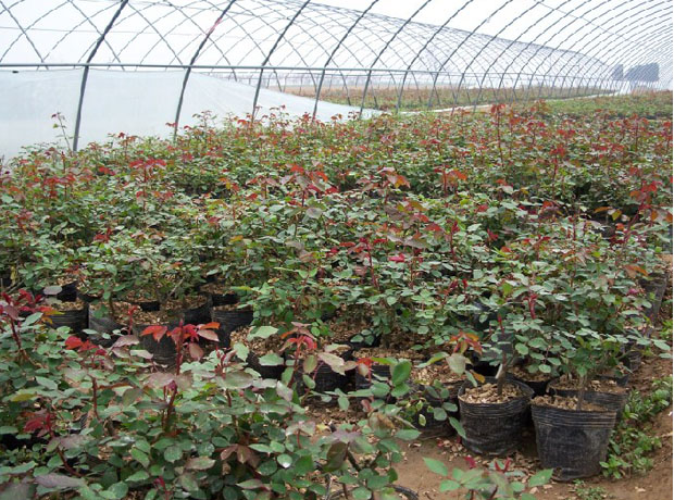 盆花月季培育基地