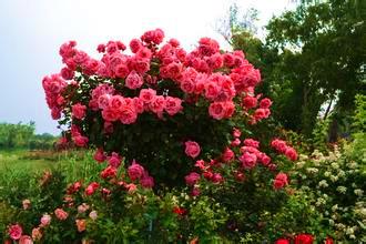 【图文】南阳树状月季如何培育_盆栽月季花开不断的关键