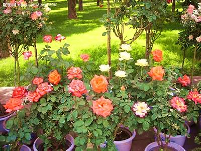 盆花月季价格