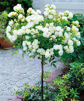 南阳树状月季最佳品种