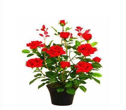 盆花月季的种植