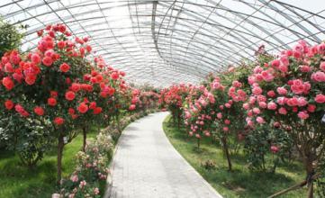 南阳树状月季种植方法