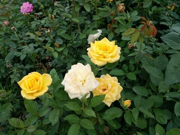 盆花月季批发哪家便宜