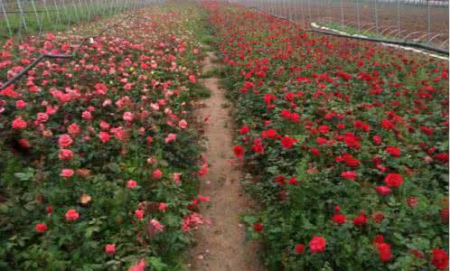 陕西盆花月季
