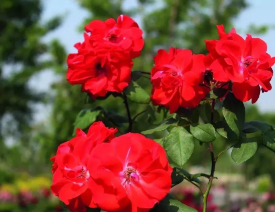 盆栽多色月季