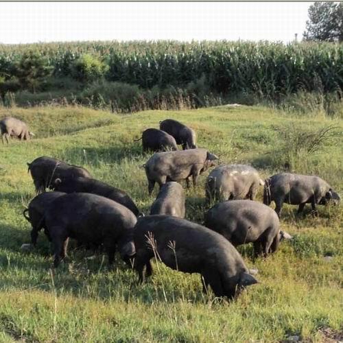 黑猪养殖场