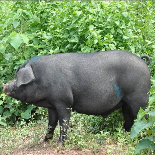 天津黑猪养殖基地