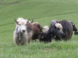 牦牛养殖基地