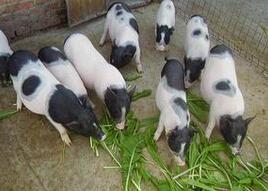 野梅香猪养殖基地