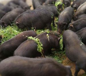 藏香猪养殖基地