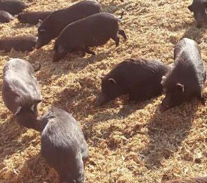香猪养殖基地