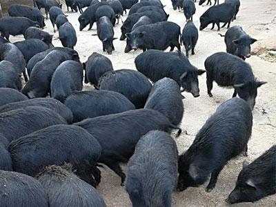 北京黑猪养殖基地
