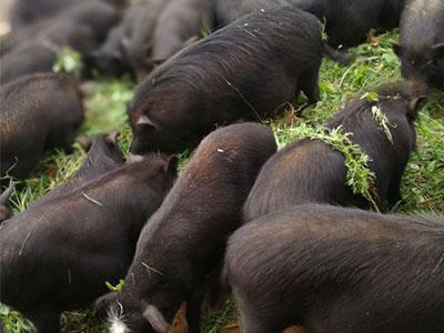 河北香猪养殖