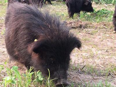 养殖黑猪基地