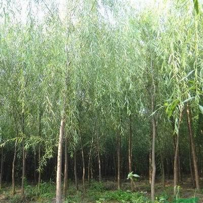 【技巧】金叶榆的特性 速生柳为园林绿化贡献力量