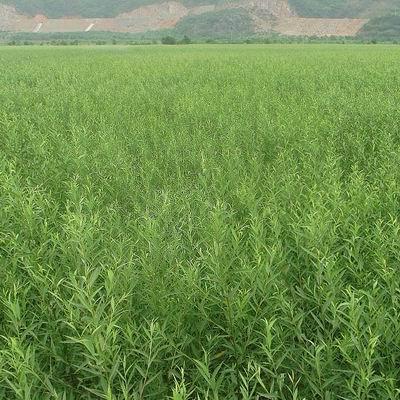 【多图】保定速生柳供应 保定苗木基地说绿化的好处
