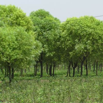 保定苗木公司速生柳未来市场如何 国槐的生长习性