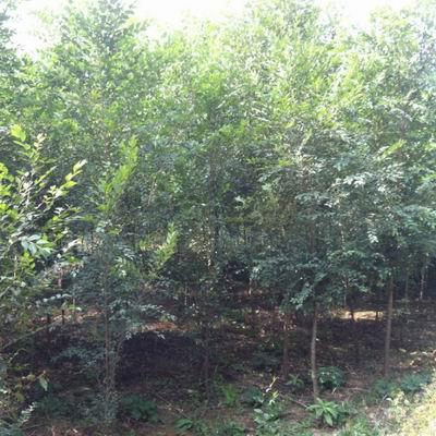 河北榆树树苗
