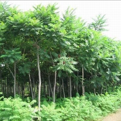 【知识】保定苗木基地 购买绿化苗木时要注意哪些