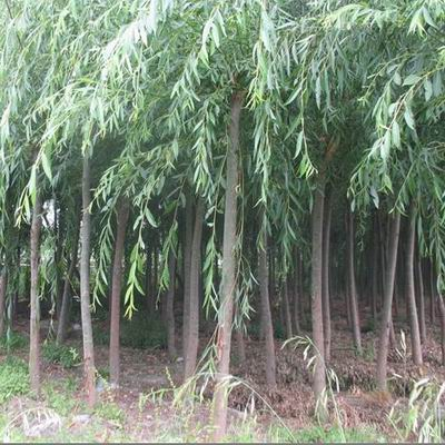 【网投棋牌网址】绿化带动保定苗木基地 起苗的标准