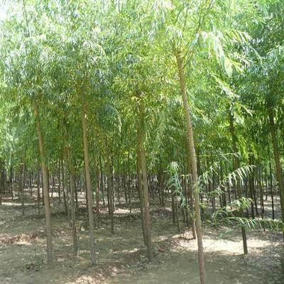 【分享】保定速生柳受欢迎的原因 保定苗木基地为绿化做贡献