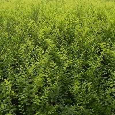 河北金葉榆樹苗