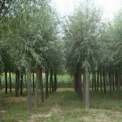 【知识】冬季苗木如何修剪 保定速生柳为何如此受捧