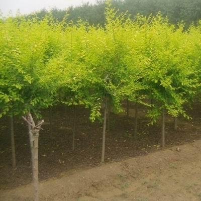 河北金葉榆種植基地